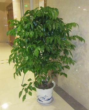 办公室绿植租摆养护有什么技巧