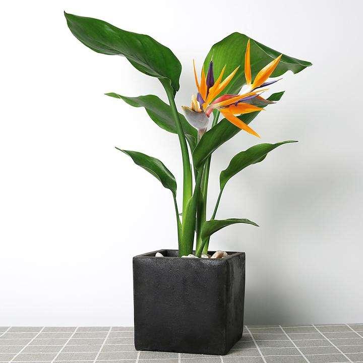 植物花卉租赁——绿箩根叶烂了,怎么挽救?
